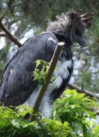 Harpy Eagle 2 by dtf-stock