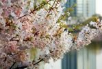 Cherry Blossoms 5 by vmulligan