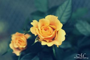 roses. by MartinaPhotography
