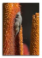 Speckled Mousebird by MrStickman