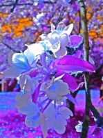 Apple Blossoms  by opium-luvs-blue