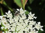 Queen Anne's Lace and Bee Fly by Windthin