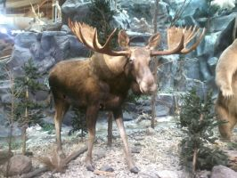 Canadian Moose by xxxanonymous