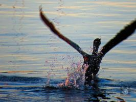 Cormorant Taking Off With A Splash by wolfwings1