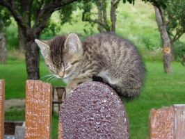 Kitty on the fence by djsatory