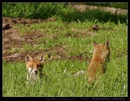 Fox Cubs Play in the Grass by RichyX83