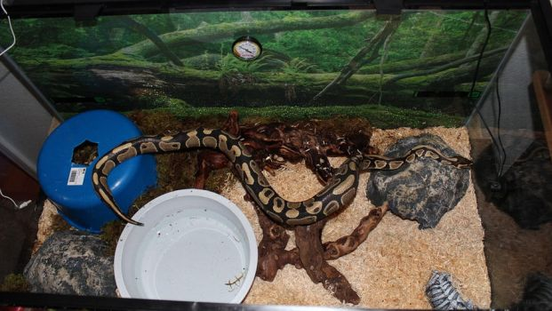 New snake in his tank by Aayrick