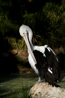 Preening Pelican by The-Nutkase