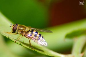 Flower Fly 2 by geeson