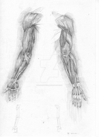 Study of arm muscles by hanestetico