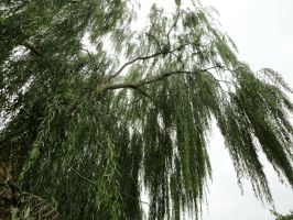 Weeping willow 01 by Simbores