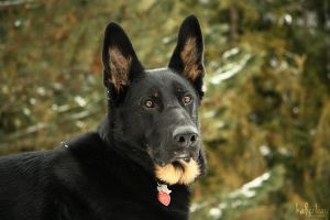 German Shepherd VII by kalicobay