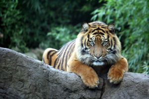 Sumatran tiger 20 by Sabbie89