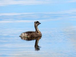 Grebe by 3LadyInRed3