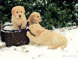 Three Goldens by BHopeS