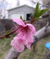 Peach Blossoms 1 by Falln-Stock
