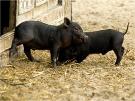pigfight by Constant-Wegman