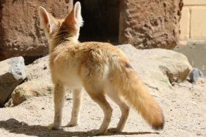 Fennec Stock 07 by Malleni-Stock