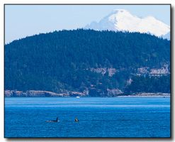 Mount Baker Orca by ricmerry