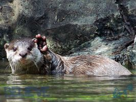 Asian Small-Clawed Otter - lll by BelievePhotography