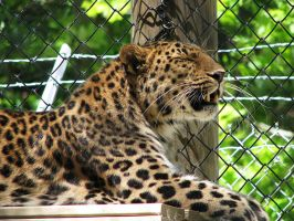 Amur Leopard Stock 8 by HOTNStock