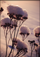- Snow flowers - by S1ghtly