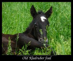 Old Kladruber foal by sarming