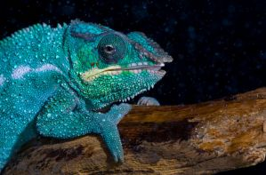 Chameleon in the rain by AngiWallace