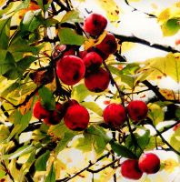 Crab Apple Tree by PridesCrossing