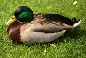 Male Mallard Duck by JDStock