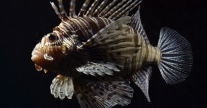 Lion Fish by The-Other-Half-Of-Me