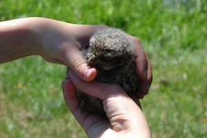 Little Owl chick by Lot1rthylacine
