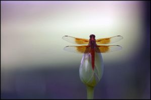 DRAGON FLY by THOM-B-FOTO