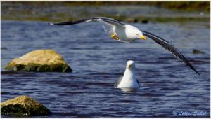 Great Black Backed Seagull VIII by lukias-saikul