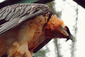 Bearded Vulture by neo1984com
