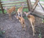 Curious Fawns 8a by Windthin