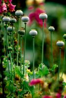 Poppies by Art-Photo