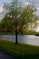 Tree by the Pond by sarahb86