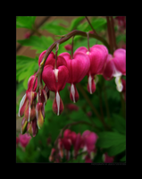 Bleeding Hearts by SqueakingShoeless