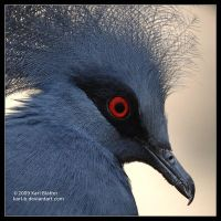 Crowned Pidgeon by Karl-B by SixbySix