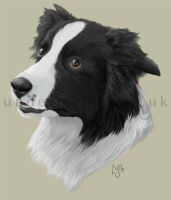 Border Collie by kayanem