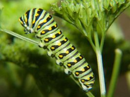Black Swallowtail Caterpillar by Apophis906