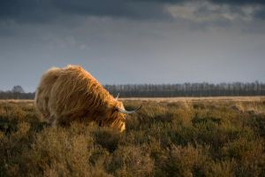 Highland cattle by RuBa1000