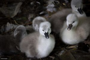 young swans by blacky-mo