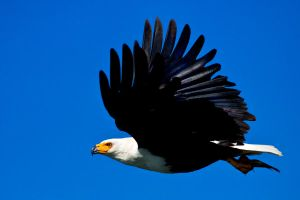 African Fish Eagle by catman-suha