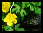 Yellow flower on stone by Lizeth