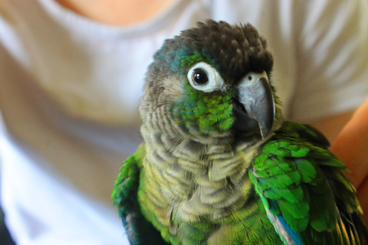 Pietro the Green Cheeked Conure by IronMeow