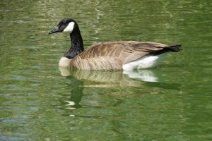 Goose Stock - 2 by CNLGraphics