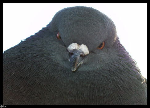 Pigeon 3 by dawowcow