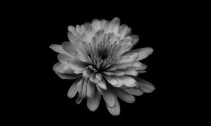 Black and White flower by aleexdee